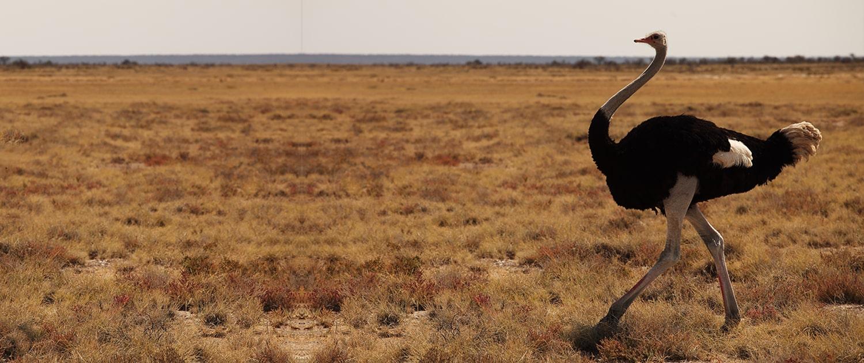 شتر مرغ