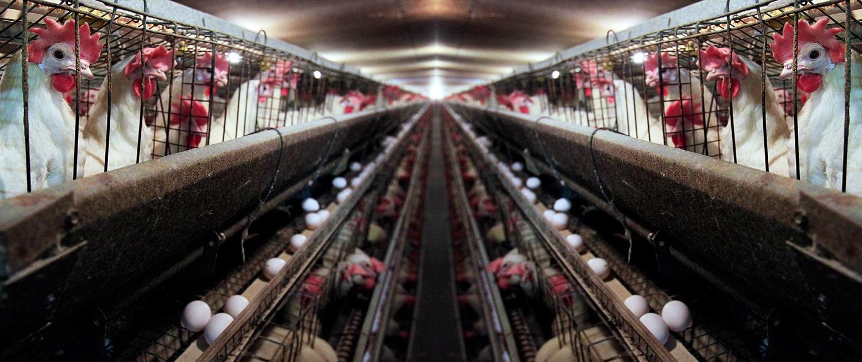 مرغ تخمگذار