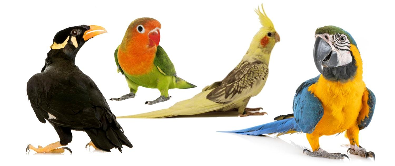 پرنده زینتی