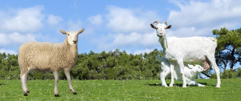 گوسفند و بز